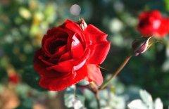 关于玫瑰和蔷薇的区别