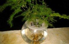 文竹的水培养殖方法