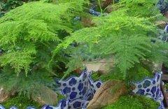 文竹的整形修剪和造型方法