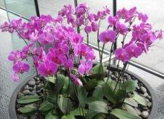 蝴蝶兰最简单的繁殖方法