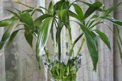 水培富贵竹几天换一次水