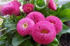 阳台盆栽雏菊养殖方法