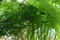 文竹叶子发黄原因及养护方法
