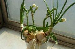 水仙花的球茎怎么切