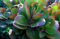 厚脸皮是什么植物