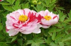 四季牡丹的繁殖养殖方法