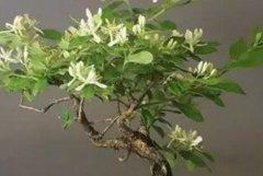 金银花盆景的栽培方法和养护要点