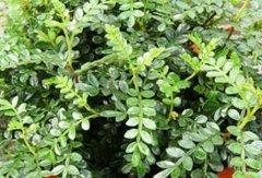 清香木为什么老掉叶?必知的养护要点