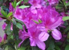 家庭盆栽杜鹃花的养殖方法