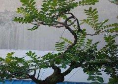 关于清香木盆景的制作与养护