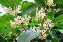 常见桂花树的主要品种介绍