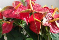 水培红掌不开花的养护解决方法