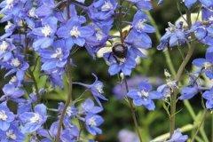 飞燕草多开花的养殖方法
