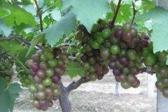 盆栽葡萄只长叶不开花结果的原因及解决办法