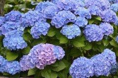 八仙花的日常养护要点