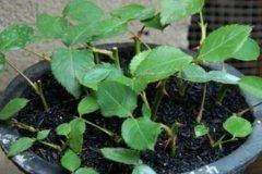 月季繁殖生根粉怎么用