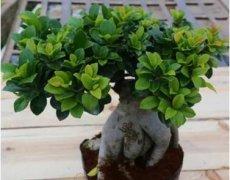 盆栽榕树黄叶的四大黄叶原因