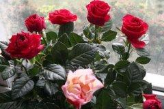 玫瑰花能浇叶子吗 正确的浇水方法