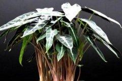小仙女海叶竹的养护要点