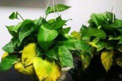 花卉叶子发黄的主要原因和解决办法