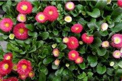 盆栽雏菊播种种植步骤详解