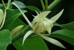 盆栽白兰花的矮化方法