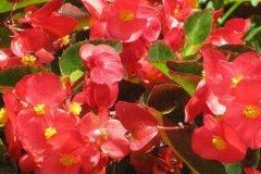 四季海棠施什么肥开花旺