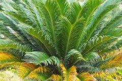 盆栽铁树的浇水养殖方法
