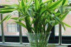 水培富贵竹养护的重点注意事项