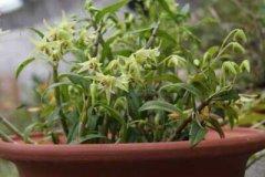 石斛的家庭盆栽种植方法