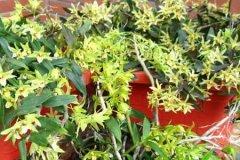 盆栽石斛的日养护方法
