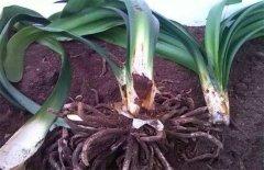 君子兰烂根烂茎的正确处理方法