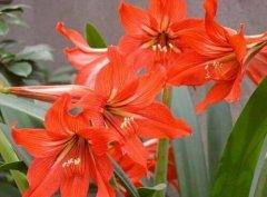 朱顶红一年能开几次花怎么多开花