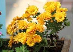 盆栽菊花苗的种植养护方法