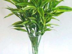 新买的富贵竹水养方法技巧