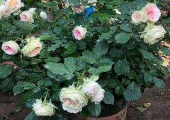盆栽月季花用什么土好