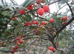 红豆杉树有毒吗 红豆杉的药用价值