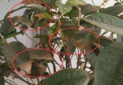 桂花树枯叶病的防治养护方法