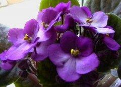 盆栽紫罗兰养殖方法和注意事项