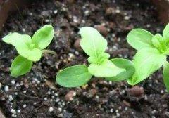 给盆栽花卉施肥的几点注意事项