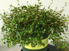 养好盆栽铁线兰的养殖要点