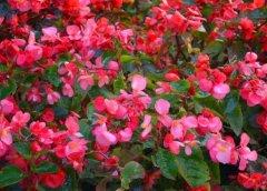 盆栽四季海棠的养殖方法和注意事项
