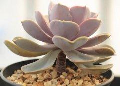 紫珍珠叶子变软原因及补救方法