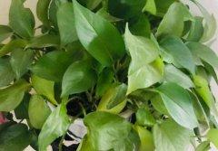 夏天把绿萝养得绿油油的小技巧