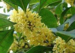 桂花树怎么养枝叶茂盛繁花盛开