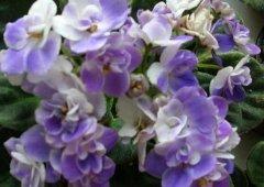 非洲紫罗兰的盆栽养法和注意事项