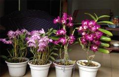 石斛兰的栽培养殖方法