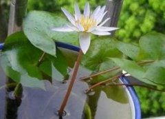 睡莲的一点种植心得分享