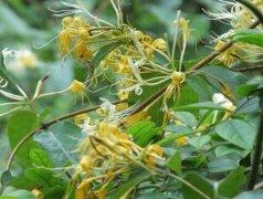 金银花出现异常落叶的四种情况分析
