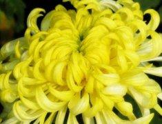 盆栽菊花黄叶的处理方法